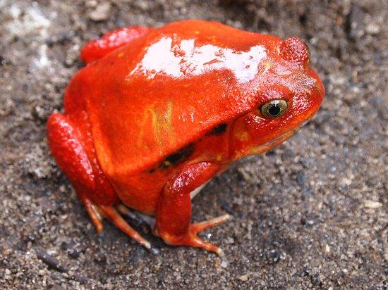 Maroantsetra, Madagascar : Tomato frog by NicoToursMasoala