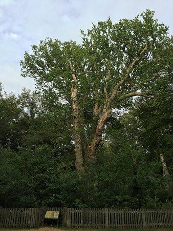 Knightwood Oak Tree: The oak tree