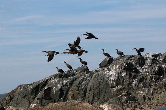 Port Ellen, UK: Cormorants of south Islay
