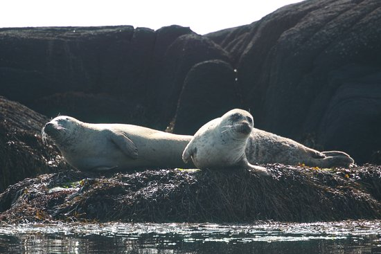 Port Ellen, UK: Common seals