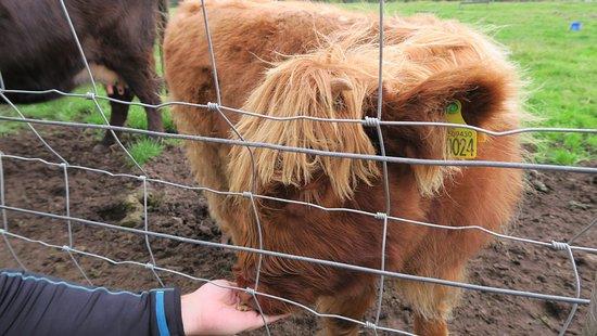 Glenmoriston, UK: Alimentando a una jovencita