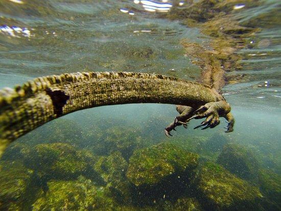 Puerto Baquerizo Moreno, เอกวาดอร์: iguana marina