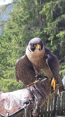 Falconeria Dolomiti: 20160907_114304_large.jpg