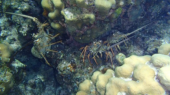 Beachcomber Grand Cayman: Lobster triplets