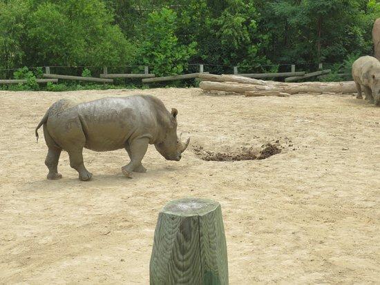 Πεόρια, Ιλινόις: rhinos