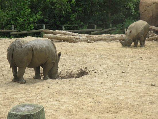 Peoria, إلينوي: rhinos