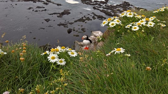 Latrabjarg, Islandia: A puffin and some daisies by the cliff edge.