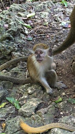Saint Peter Parish, Barbados: Baby monkey