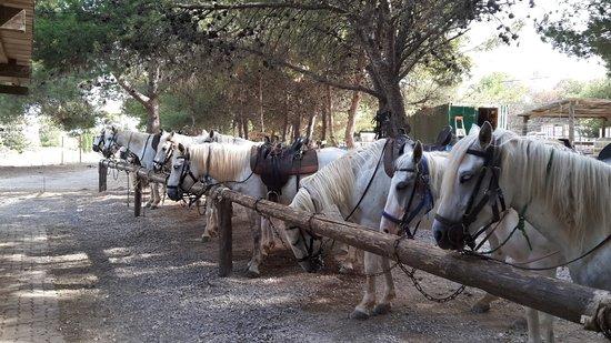 Vic-la-Gardiole, França: Très beaux chevaux camarguais