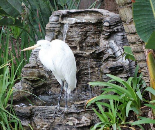 Humphreys Half Moon Inn & Suites: Great Egret visits