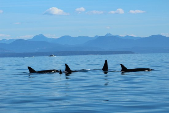 Adventure Quest Tours Canada Inc- Day Tours: Orcas in the Crystal Blue Water