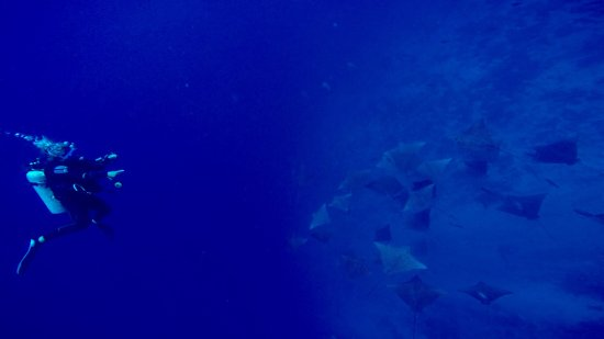 Y AKA Plongee Rangiroa: Vol de raies léopard passe de Tiputa à l angle