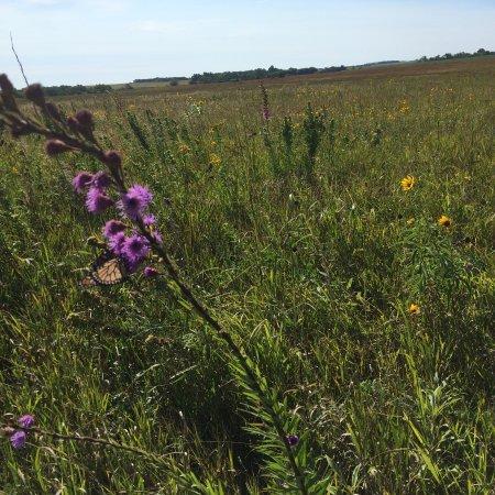 Comfrey, MN: Prairie flowers.