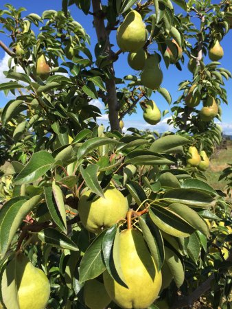 Parkdale, OR: Pears! @ Kiyokawa Family Orchards