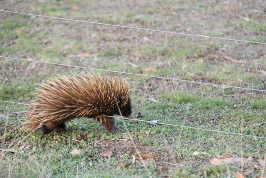 Eleanor River Homestead - Kangaroo Island: we saw an echidna on the property