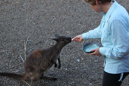 Eleanor River Homestead - Kangaroo Island: hand feeding kangaroos