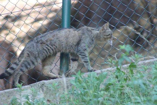 Gatto Selvatico Foto Di Parco Faunistico Di Spormaggiore