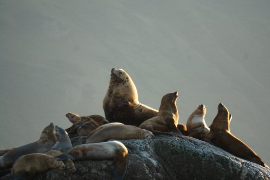 Larsen Bay, AK: Sea Lions in the Bay