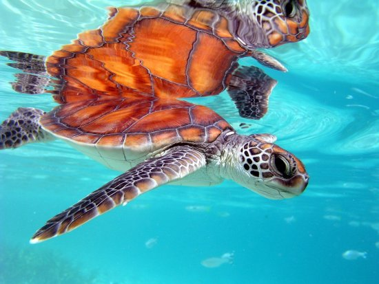 InterContinental Moorea Resort & Spa: Sea Turtle Clinic