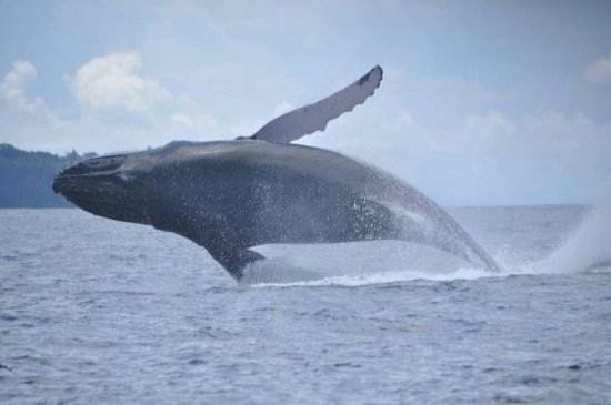 Uvita, Costa Rica: Whales... Beautiful