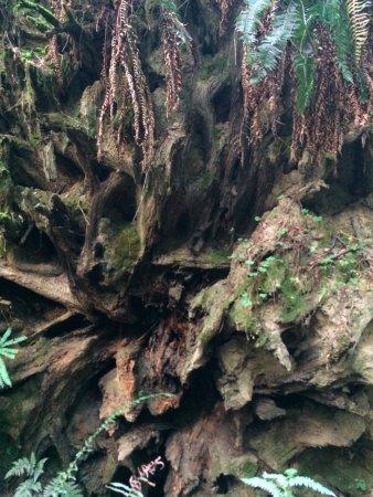 Weott, Californien: Uprooted redwood tree stump