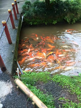 Kaneohe, HI: Coy they love you, make sure to buy fish food in the gift shop for them!