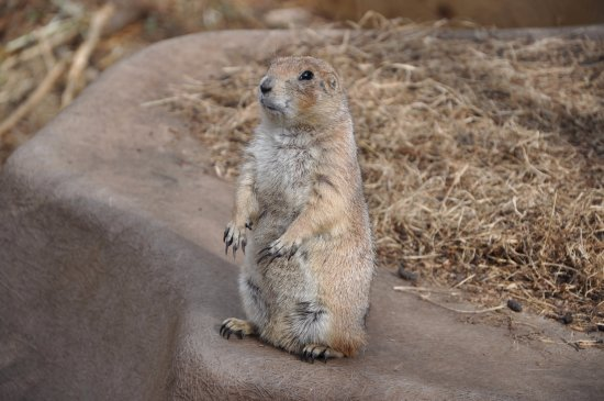 The tamest little prairie dog ever - she holds your ...