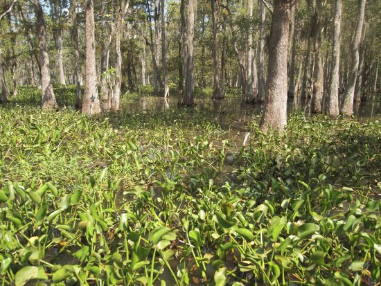 Gibson, LA: Bayou Black water plants