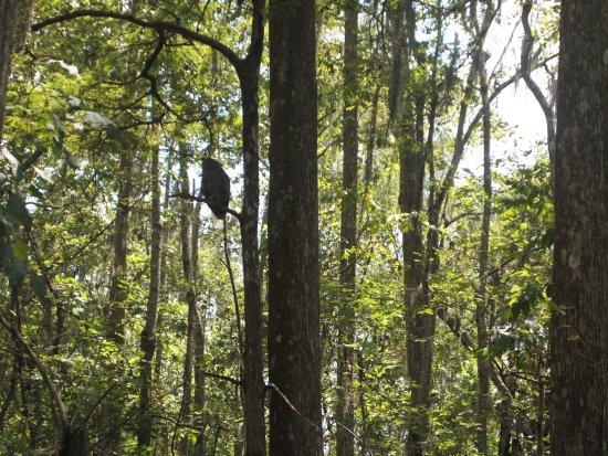 Gibson, LA: Bayou Black swamp owl
