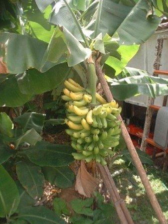 Baldwin's Guest House Cozumel: Bananas