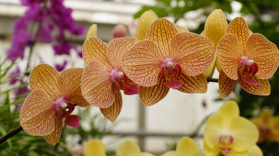 Hillsborough, NJ: Orchid Ranger