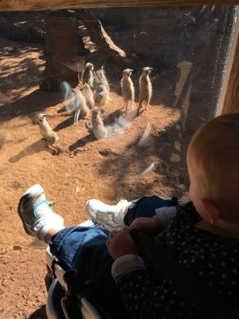 Perth Zoo: Up close with the meerkats