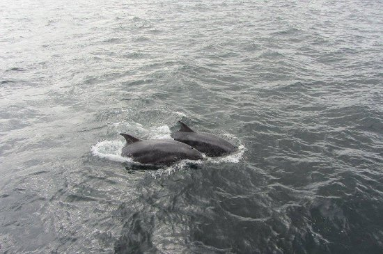 Portknockie, UK: Dolphins in Moray Firth 2.9.16