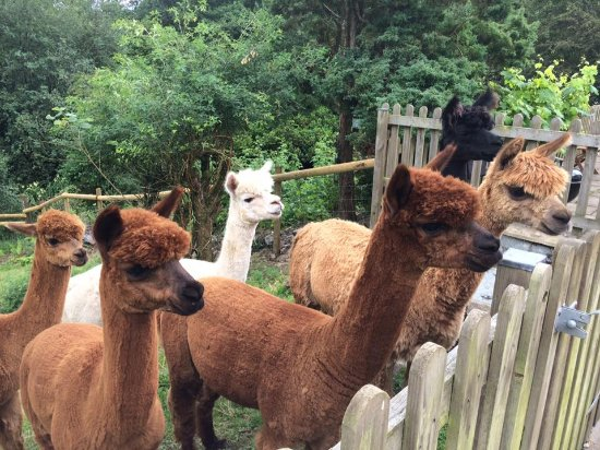 Woolley Animals Alpaca Walking Devon