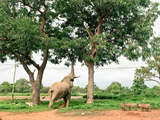 Tamale, Ghana: Elephants at mole park-grassroottours
