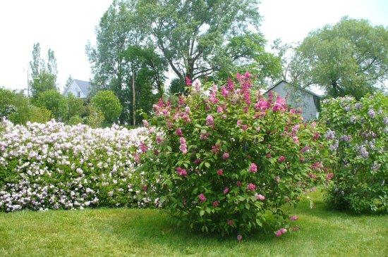 magnifique a voir toutes ces sortes de lilas et de fleurs picture of les jardins du cap a l. Black Bedroom Furniture Sets. Home Design Ideas