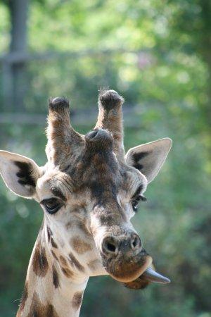 Grimace de girafe photo de pairi daiza brugelette for Prix d une girafe a poncer