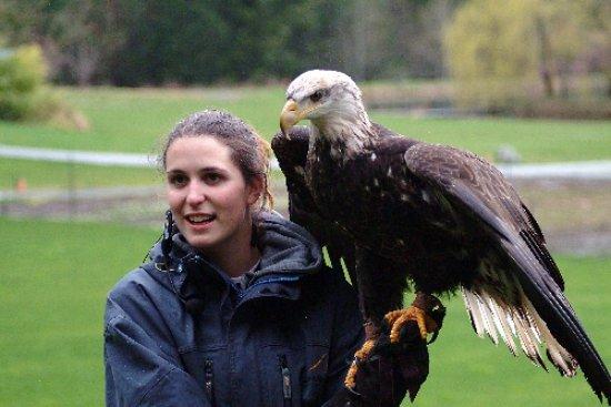 Cowichan Bay, Canada: Raptor Centre, Manwe bald eagle