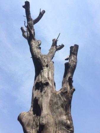 Krugersdorp, Sydafrika: Beautiful tree silhouette