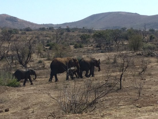 Krugersdorp, Sudáfrica: Zebra fighting, elephants walking. Pilanesberg Nature Reserve