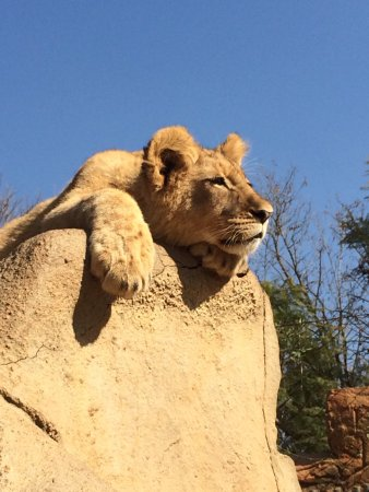 Krugersdorp, Sudáfrica: Lazy Lion on the rocks