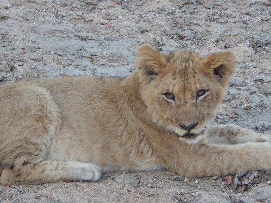 Thornbush Game Reserve: lion cub