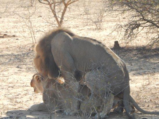 Thornbush Game Reserve: lions mating