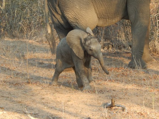 Thornbush Game Reserve: baby elephant