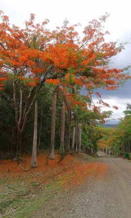 Province of San Jose, Costa Rica: Malinche tree