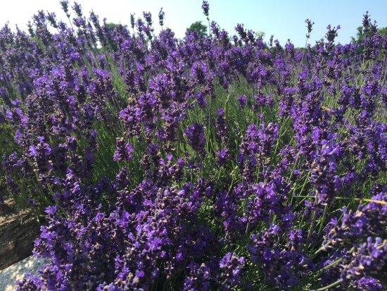Light of Day Organics: Ahhhh...Lavender
