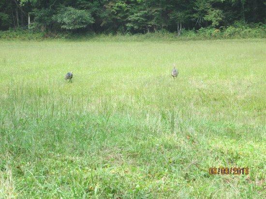 Cosby, TN: Wild turnkeys in Cataloochee Valley.