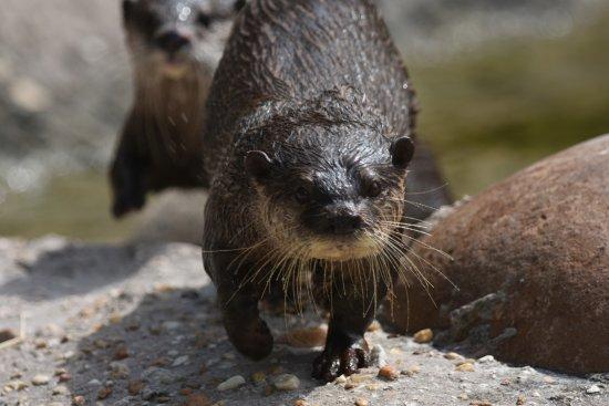 Jacksonville Zoo & Gardens: Otters
