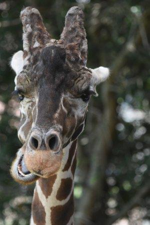 Jacksonville Zoo & Gardens: Feeding the giraffes