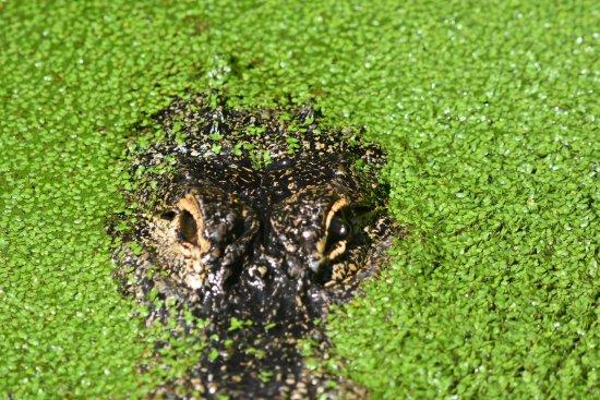 Jacksonville Zoo & Gardens: Alligator Pond